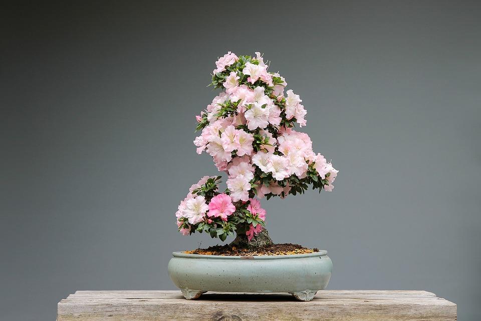 bonsai-3125722_960_720