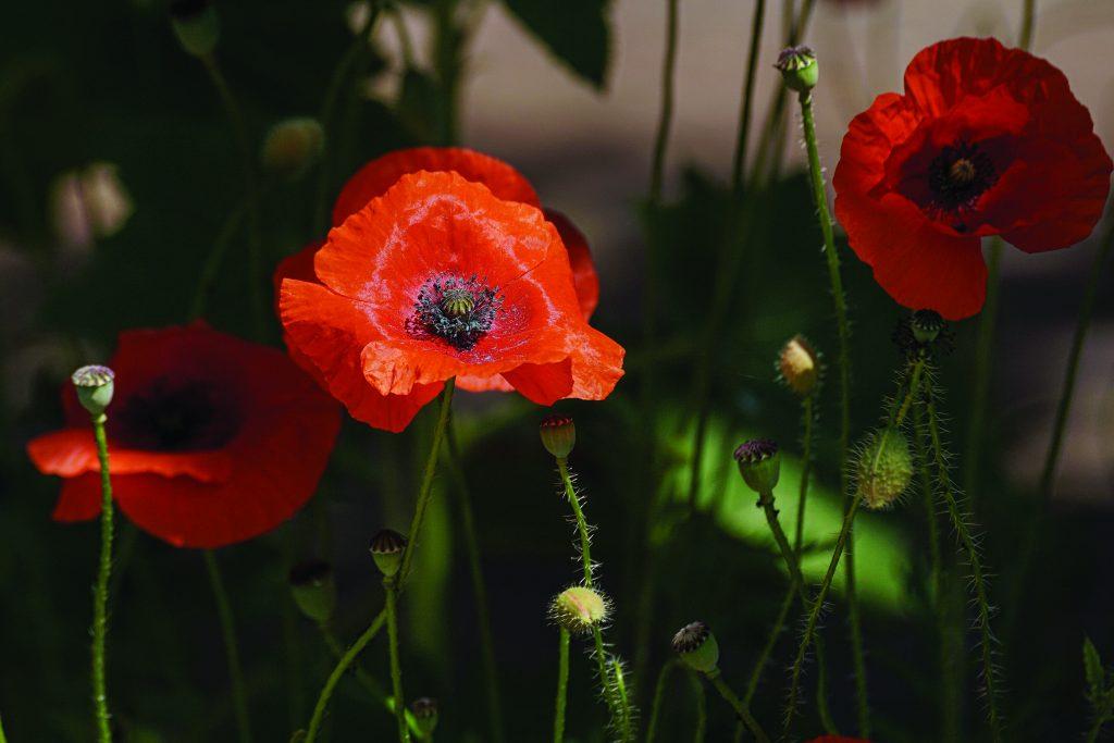 poppy-3581728